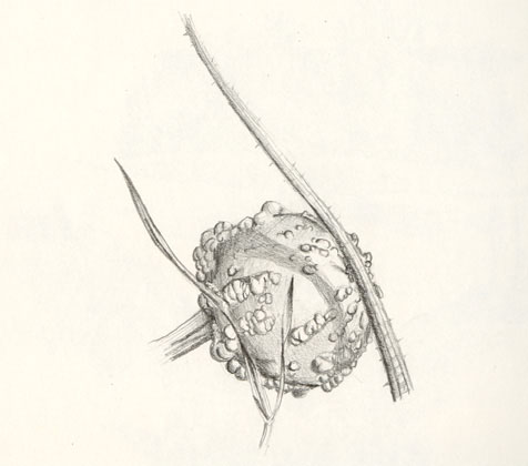 Gourd, pencil drawing 1998